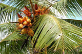 Harvest of the coconut palm with yellow fruits, Bentota, Sri Lan — Stock Photo