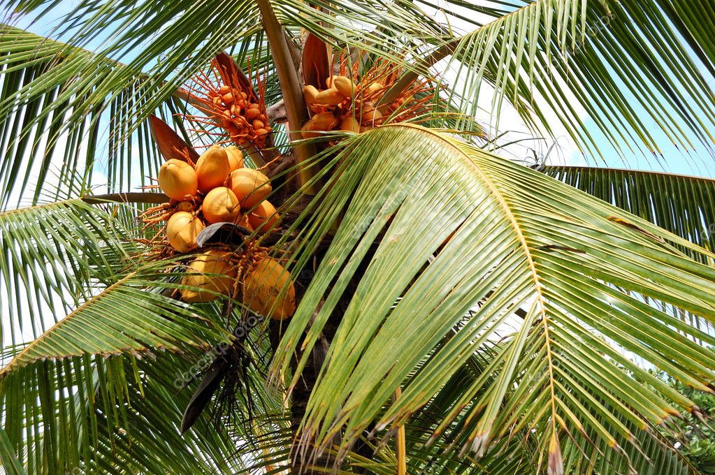 Harvest of the coconut palm with yellow fruits, Bentota, Sri Lanka — Stock Photo #7998184