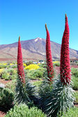 Echium wildpretii plant also known as tower of jewels, red buglo — Stock Photo