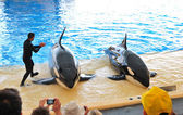 TENERIFE ISLAND, SPAIN - MAY 26: The Orcas show in Loro Parque o — Stock Photo