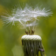 Stock Photo: Dandelion.