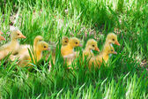 Gooses in a grass — Stock Photo