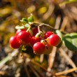 Cowberry — Stock Photo #10038854