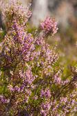 Sunny heather — Stock Photo