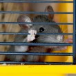 Stock Photo: Small rat in a cage
