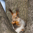 Squirrel in a nest — Stock fotografie