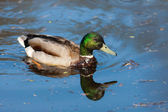 Duck and its reflection — Stock Photo