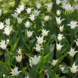 Stock Photo: Set of white tulips