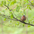 Chaffinch in spring — Stock Photo #10700707