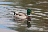 Swimming duck — Stock Photo