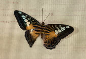 The butterfly on a grid — Stock Photo
