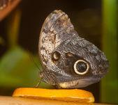 蝶はオレンジを食べる — ストック写真