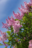 Branches of a lilac — Stock Photo