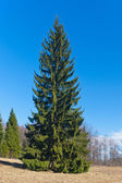 Fur-tree in park — Stock Photo