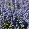 Small dark blue florets — Stock Photo