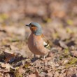 Stock Photo: The chaffinch in the spring