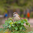 Stock Photo: Sparrow on bush in park