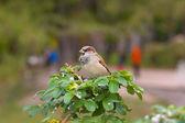 Sparrow on a bush in park — Foto de Stock