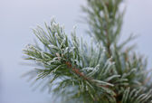 Pine branches in hoarfrost — Stock Photo