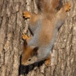 Stock Photo: The squirrel on a tree trunk