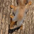 木の幹にリス — ストック写真