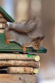 The squirrel on a wooden house — Stock Photo