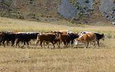 Стадо коров — Стоковое фото