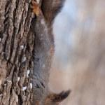 ardilla cabeza — Foto de Stock