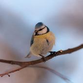 The blue tit on branch — Stock Photo
