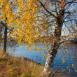 Stock Photo: Birch on river bank