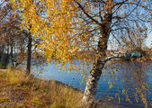 Birch on river bank — Stock Photo