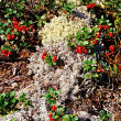 Wild cowberry and reindeer moss — Stock Photo