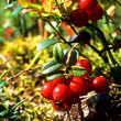 Cowberry on a bush — Stock Photo