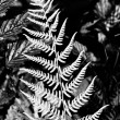 Silver fern - Stock Photo