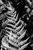 Silver fern — Stock Photo