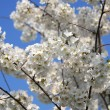 Cherry Blossom Flower Tree — Stock Photo