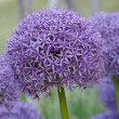Foto Stock: Allium hollandicum purple sensation flower