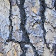 Pine Tree Bark Texture Background — Stock Photo