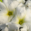 Petunia white flower — Stock Photo