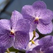 Vanda Blue white orchid flower — Stock Photo