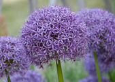 Allium hollandicum purple sensation flower — Stok fotoğraf