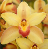 Yellow red cymbidium orchid flower — Stock Photo