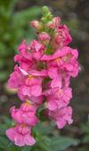 Pembe sarı aslanağzı majus ejderha çiçek — Stok fotoğraf
