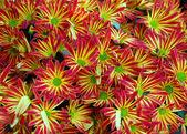 Gerbera daisy red yellow flower — Stock Photo