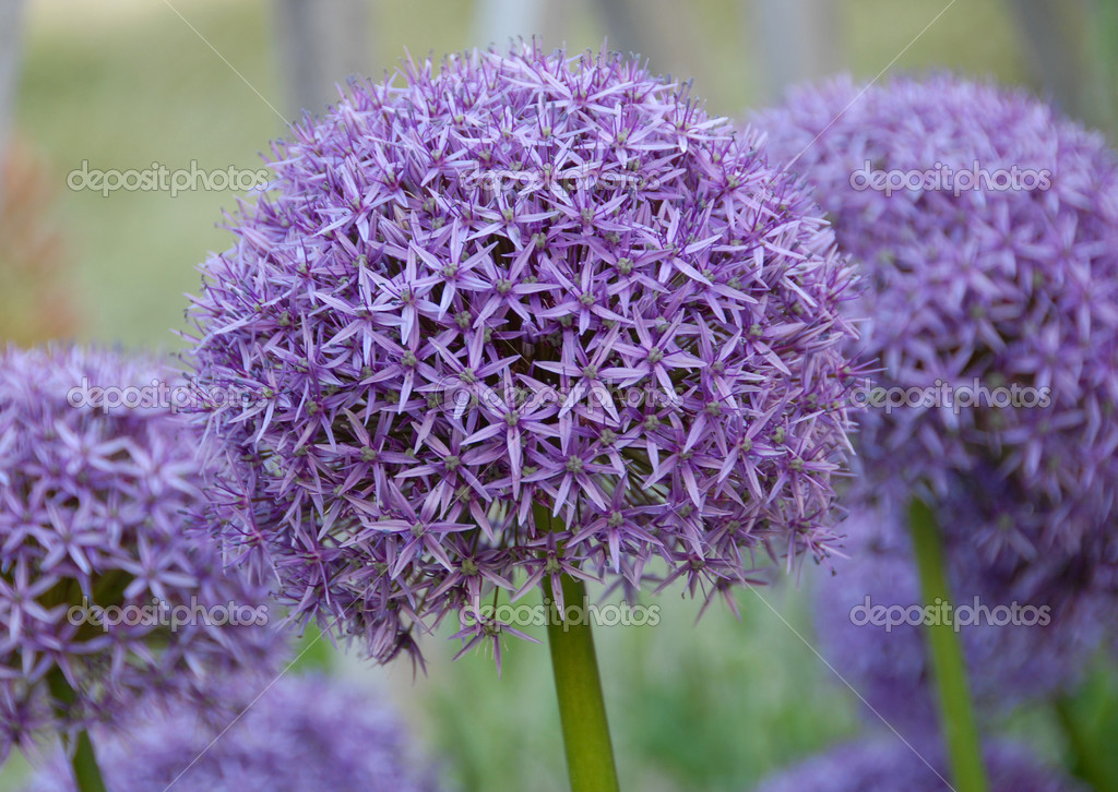 Ball shape Allium hollandicum purple sensation onion flower florets in bloom — Stock Photo #10161578