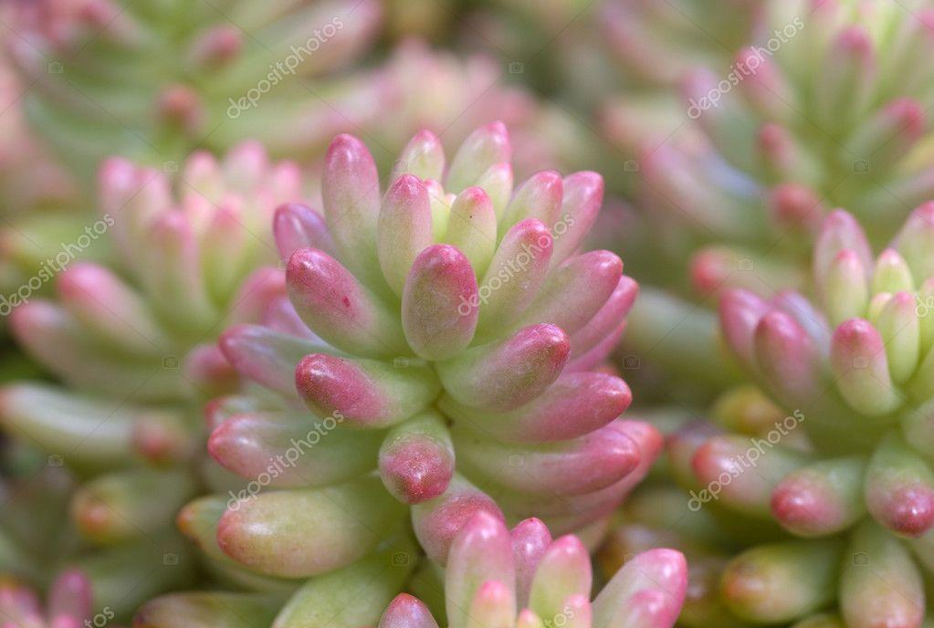 plante succulente rose de sedum aurora vert photographie nikonite 10162377. Black Bedroom Furniture Sets. Home Design Ideas
