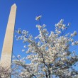 Washington DC Monument Cherry Blossom — Stock Photo