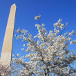 Royalty-Free Stock Photo: Washington DC Monument Cherry Blossom
