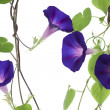 Stock Photo: Morning glory