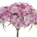 ������, ������: Carnation